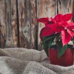 Slijedite samo ova tri savjeta i produžite životni vijek božićnoj zvijezdi