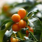 Patuljasto voće idealno za terase