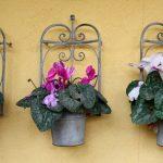 Pravilan uzgoj ciklame: Cvijet iskrenosti voli hladnoću