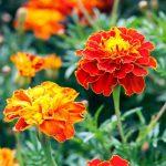 U susret proljeću: Za uređivanje balkona ili vrta razmislite o kadifi, cvijetu opojnog mirisa