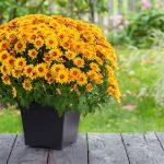 Hrizanteme su idelano cvijeće za jesen